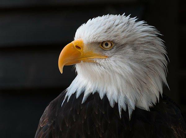 bald-eagle-341898